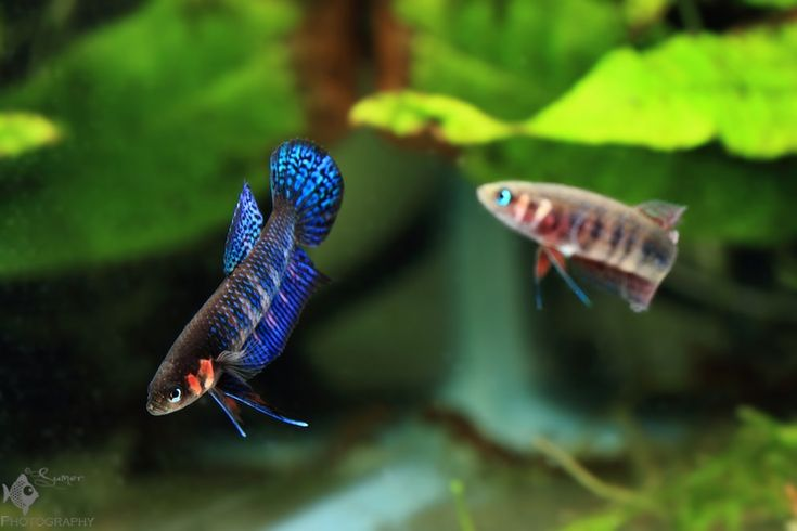 Betta tanks and to be on pinterest for Wild betta fish