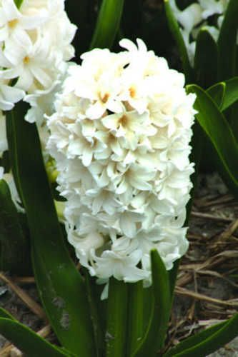 B&B's: Hyacinthus, orientalis 'Fairy White'