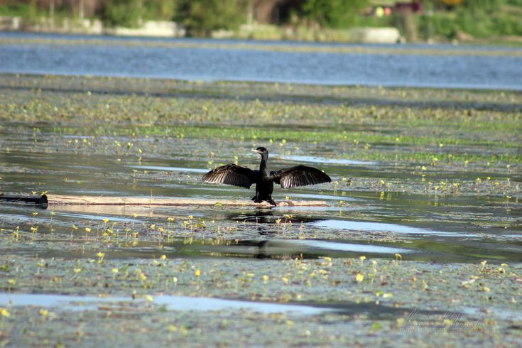 https://flic.kr/p/zPaP12 | Duck | Lago Rapel, VI Región - Chile