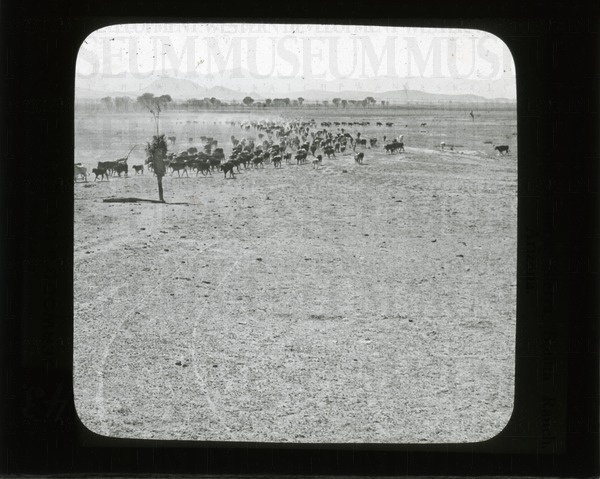 Moving a herd, Sierra Bonita Ranch, Arizona | saskhistoryonline.ca