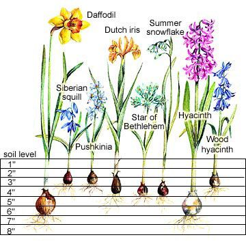 This handy chart takes the guesswork out of planting Spring flowering bulbs,