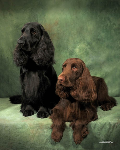 Black & Liver Field Spaniel portrait.