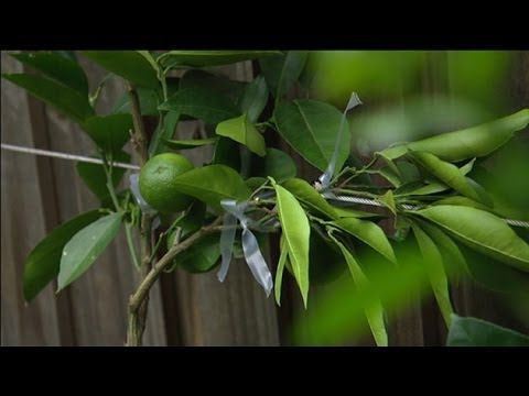 Graham Ross: How to Espalier, Ep 6 (07.03.14) - YouTube