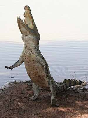 Bipedal croc! This image - taken in Bazoule, Burkina Faso - is labelled 'sacred crocodile', so might depict C. suchus. Image by Marco Schmidt, licensed under Creative Commons Attribution-Share Alike 3.0 Unported license.