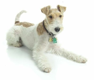 Bronte a 9 month old Ginger Wire Fox Terrier (AKC Reg.).