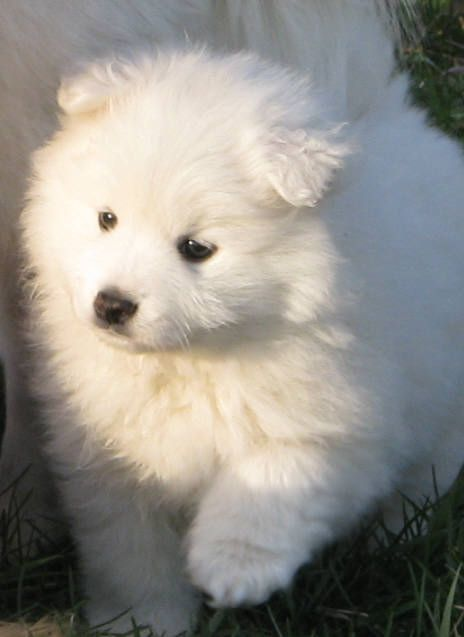 Toy American Eskimo @Mackenzie Molzhon Brown get this one!