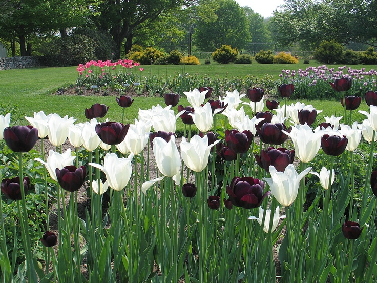 Spring tulip display -- Tulip 'Queen of Night', Tulip 'Triumphator' and 'Nuit Blanche' Tulip mixture