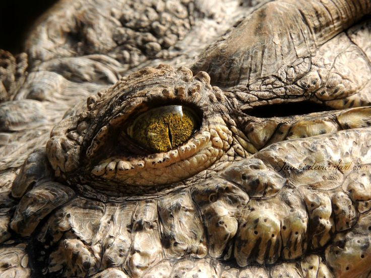 Crocodile, Buin Zoo, Chile. I hope someone use this as a reference for a dragon eye