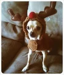 Christmas reindeer chihuahua