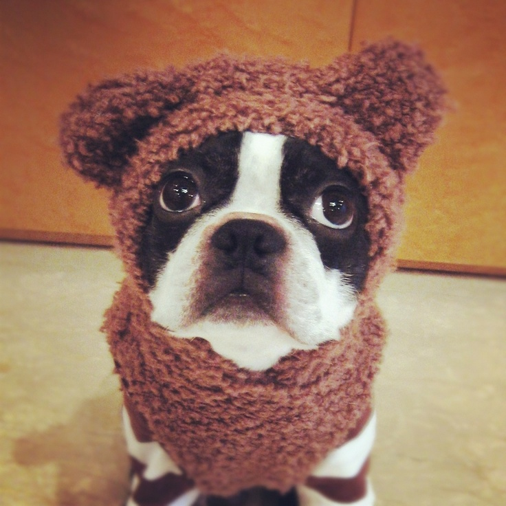 Really?  I have to wear this?  Boston Terrier Love