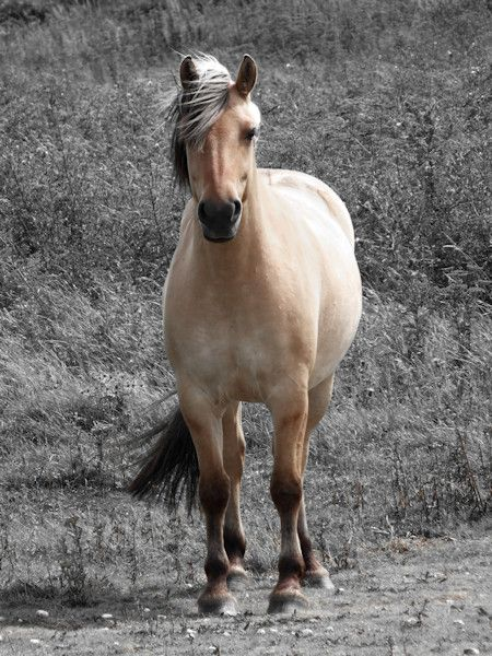 Cayeux-sur-mer - Le Henson (ou Fjord ?) - ou cheval de la baie de Somme - Hable…