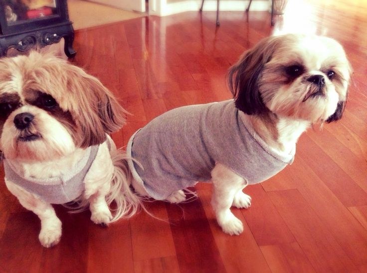 Make your small dog a dog sweater out of an old sweatshirt in five minutes no sewing!