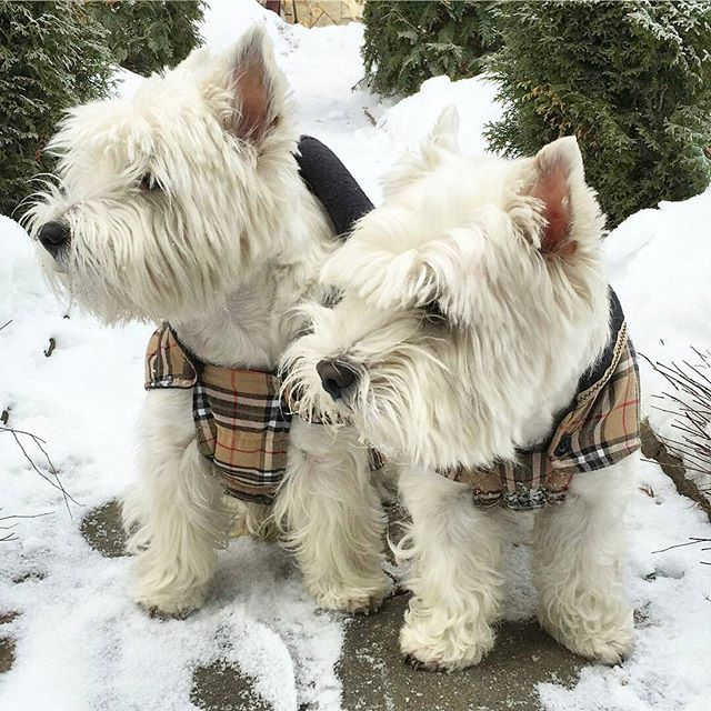 Check the link in @westiemoments profile and choose your Westie 👕 or hoodie! International shipping!📦 🐶 To be reposted⏩Start to follow us⏩Choose your best photo⏩Tag us #westiemoments 🐶 Reposted from: @westies_boatsman_and_henry 🐶