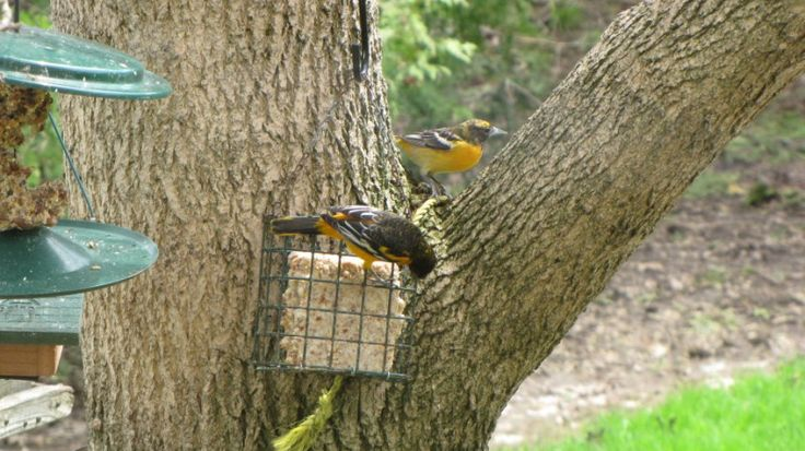 Oriole attracted to Mill Creek suet. Photos courtesy of Barbara Bennett