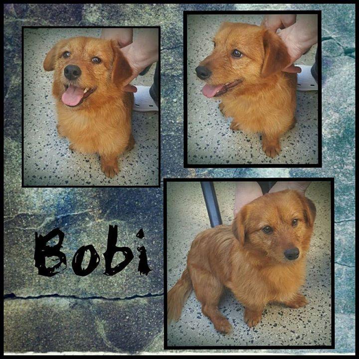 Bobi ist gut auf seiner tollen Pflegestelle in Dortmund angekommen.  Der junge Bobi ist gerade erst 11 Monate alt und hat eine Schulterhöhe von stattlichen 29 cm.   Er zeigt sich anhänglich und lieb ist sportlich und natürlich Junghund typisch verspielt.   Bobi hat Jagdtrieb und ein starkes Dominanzverhalten das muss man händeln können.  Bobi ist kastriert geimpft und gechipt und wird nur nach Vorkontrolle und mit Schutzvertrag vermittelt.   Anfragen bitte NUR telefonisch Mo-Di u. Do-Sa…