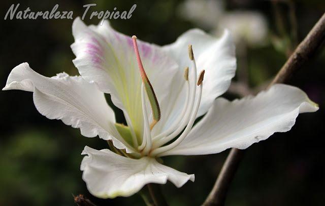 2- Los árboles orquídea (nombre popular de todas las especies arbóreas del género Bauhinia) son de los árboles más comunes en Cuba. Han sido utilizados para adornar bordes de carreteras y crecen además de forma silvestre en la vegetación.