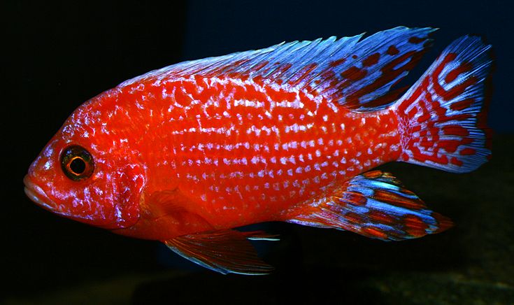 Aulonocara sp. Firefish, Dragon Blood Peacock Cichlid