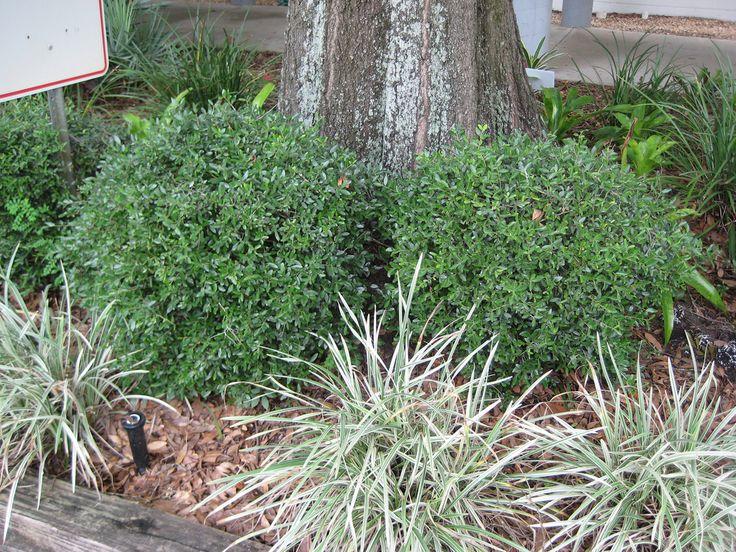 Bay Window Garden Ideas how to make a hanging window herb garden httpwww Dwarf Yaupon Holly Flickr Photo Sharing Evergreen Landscapetexas Plantsdwarfbay Windowlandscaping Ideasyard