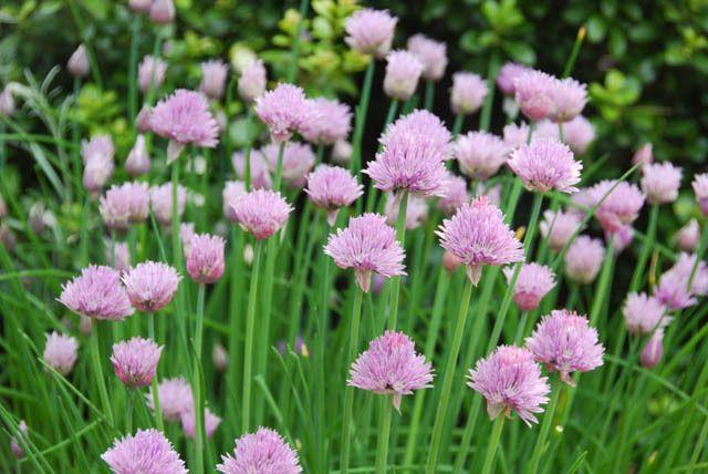 Allium Schoenoprasum, Chives, Cive, Onion Grass, Pink Allium