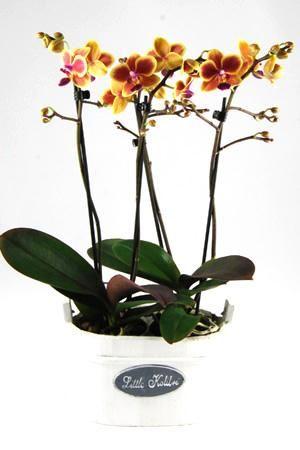 Orchidee Phalaenopsis Colombia in Wooden Oval wit. Gezellig houten hengselbakje met opdruk 'Little Kolibri'. Bakje met 4 takken en minimaal 35 bloemen.