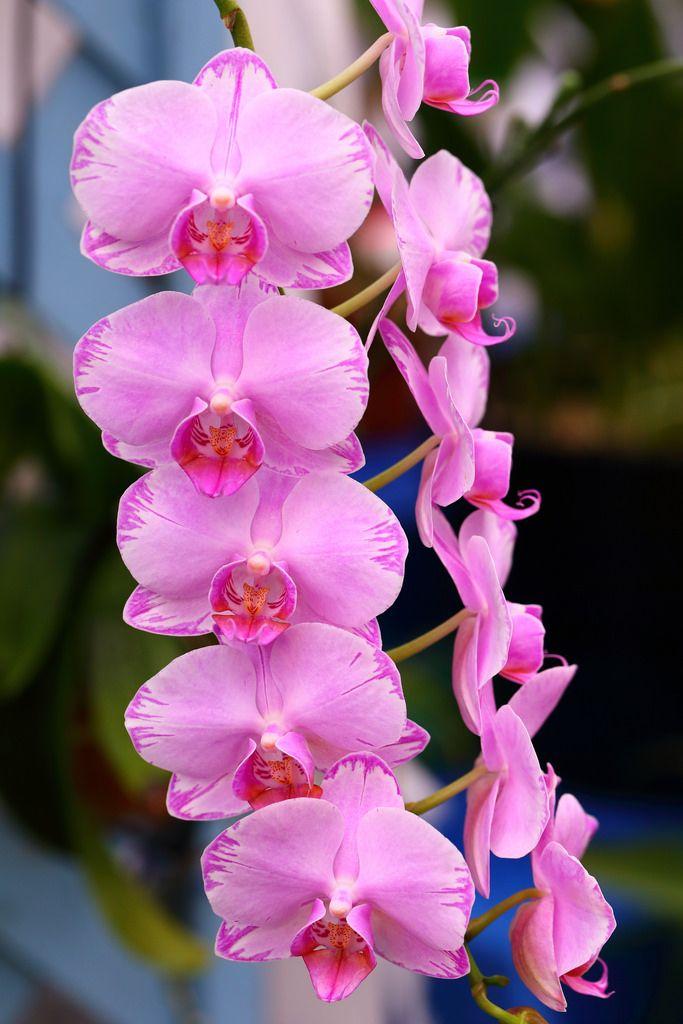 Moth-orchid: Phalaenopsis Meddy 'Arrow' - Flickr - Photo Sharing!