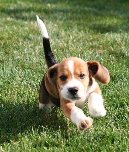Southwell the Beagle Pictures 2624 #Beagle