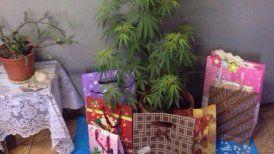 """Carabineros descubrió planta de marihuana """"disfrazada"""" de árbol de Navidad - Cooperativa.cl"""