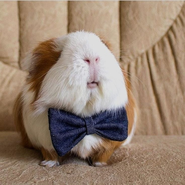 "daysofourpigs: ""guineapiggies: ""by guinea_pig.friends "" He is SO FRIGGING CHUBBY AAAAAAHHH """