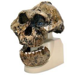Anthropological Skull Model - KNM-ER 406, Omo L. 7a-125 #AnthropologicalSkullModel  #KNM-ER406Skull Model