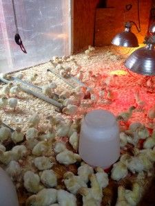 Heat, water, feed and fresh bedding. A lesser-celebrated turkey recipe!