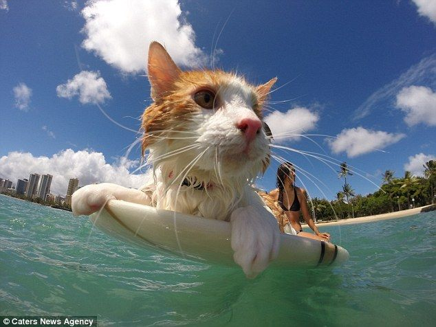 The cat who loves to surf