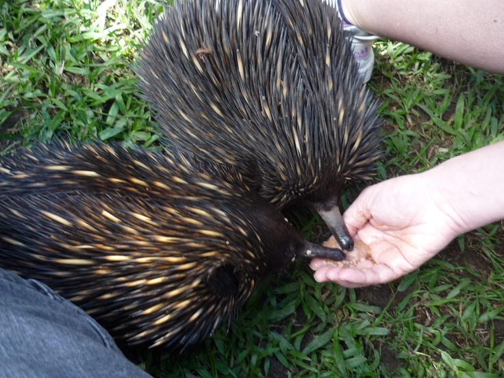 Pic of my husband and I hand-feeding some echidna's at Australia Zoo