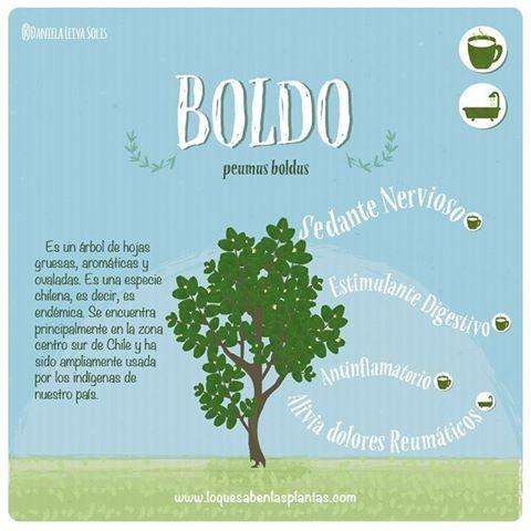 Porque sólo crece en Chile se merece el primer lugar. Uso en infusión y baños #boldo #infusion #endémico #árbolmedicinal #plantasmedicinales #ilustracion #plantas