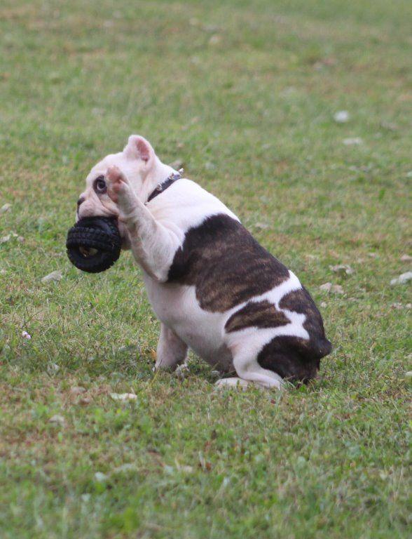 Tug Shorty Bull Puppy For Sale In Marysville Kansas Vip