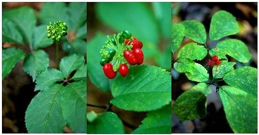 How to ID a Ginseng Plant