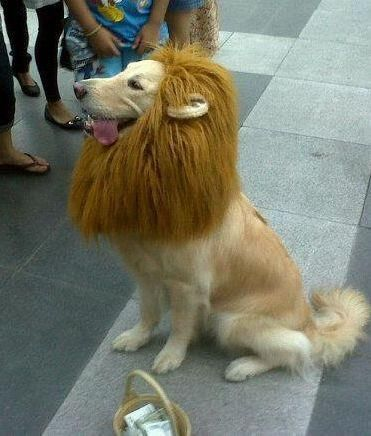 I need to make this for my Golden Retriever for Halloweeen