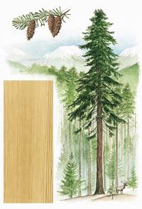 Ель Дугласа / Douglas Fir In the U.S., Douglas fir (Pseudotsuga menziesii) naturally ranges from the Mexican border north to Alaska, and from the Pacific coast east to the Rocky Mountains. Often found in pure stands, Douglas fir can attain an average mature height of about 300' and diameters from 10' to 17'. - See more at: http://my.woodmagazine.com/materials-guide/lumber/wood-species-2/douglas-fir/#sthash.Mt2ZopMn.dpuf