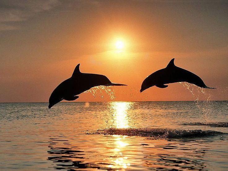 САМЫЕ УДИВИТЕЛЬНЫЕ ФАКТЫ О ДЕЛЬФИНАХ. (22 ФОТО) Дельфины уже давно стали одним из самых любимых человеком океанических животных. Они обладают высоким интеллектом и веселым, дружелюбным нравом. У большинства из нас дельфины ассоциируются с забавными акробатическими выступлениями в дельфинарии.   Читать всё: http://avivas.ru/topic/samie_udivitelnie_fakti_o_delfinah.html