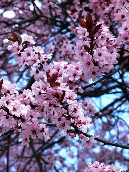 Prunus cerasifera 'Nigra' - Blutpflaume  Eine üppige rosarote Blütenpracht im zeitigen Frühjahr, eine dunkelrote Blattfarbe imSommer und süße, eßbare Früchte im Herbst, so präsentiert sich die Blutpflaume alsbekanntes und...