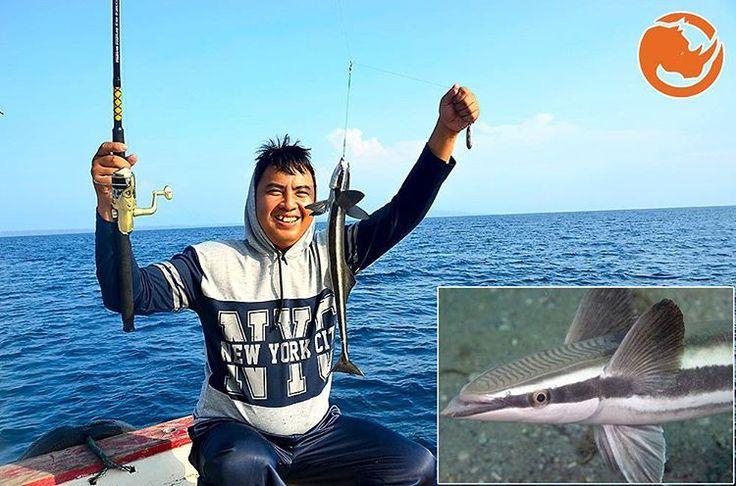 Ikan Remora, sahabat baik ikan terganas , kuat dan cepat dilautan. Populasinya di lautan terbuka terutama tropis. Panjang tubuhnya bisa mencapai 78 cm. Menempelkan diri kepada hiu dengan menggunakan insang yang berada dikepalanya. Tujuannya untuk...
