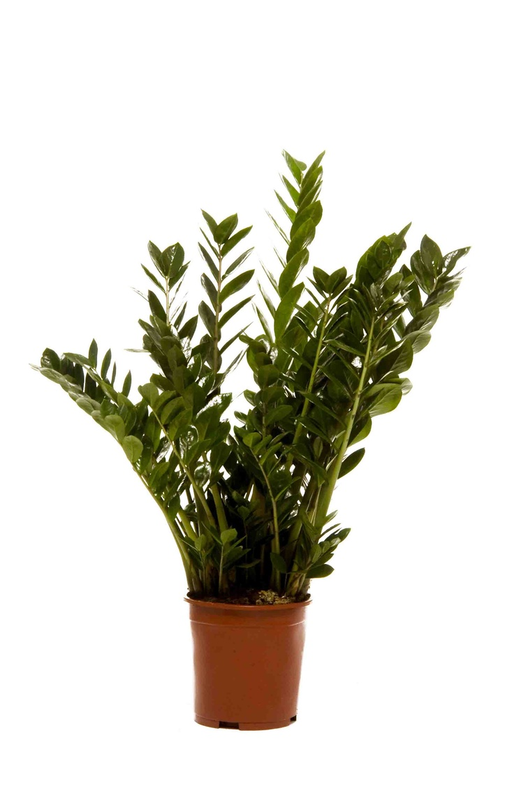 Zamioculcas zamiifolia 39 zamii 39 our top 10 office for Plante zamioculcas