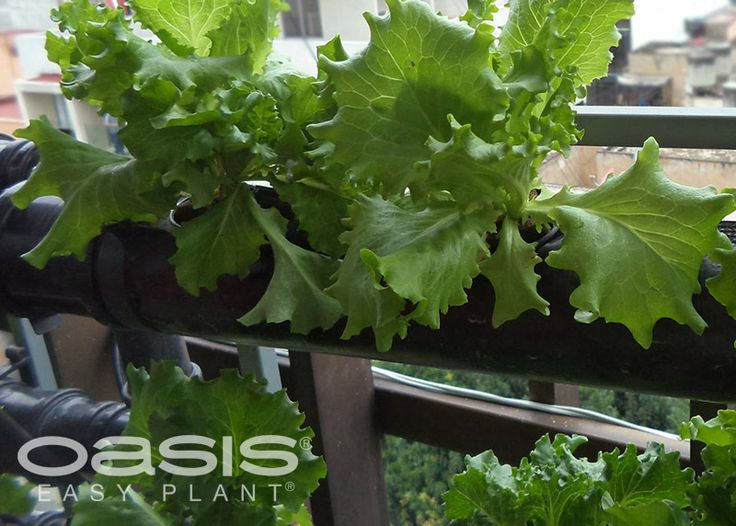 inicia tu hortaliza en casa con los sistemas hidropnico y aeropnico de oasis easy plant