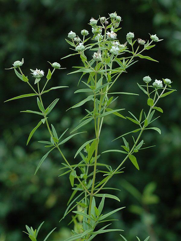 Image result for pycnanthemum virginianum