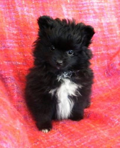 Black and White Pomeranian Puppies | POMERANIANS ----BLACK PUPPIES ARE BEAUTIFUL in Winfield, Alberta for ...