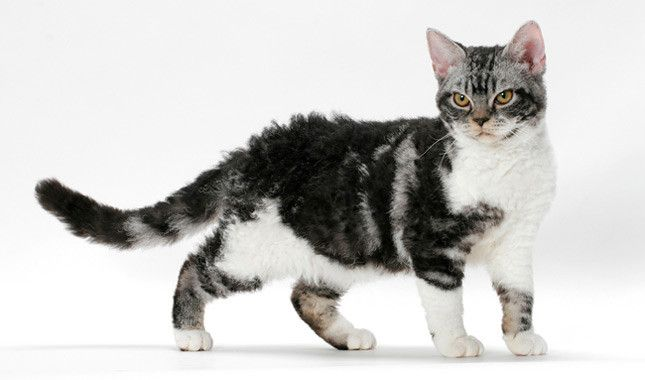 The American Wirehair is a breed of domestic cat originating in upstate New York. As of 2003, though the breed is well-known, it is ranked as the most rare of the 41 Cat Fanciers' Association breeds, with only 22 registered, down from 39 in 2002. The American Wirehair is a spontaneous mutation of the American Shorthair. It first occurred as a random mutation among a litter of five born to a pair of barn cats in 1966 in Vernon, in upstate New York. This single red-and-white male had wiry fur.
