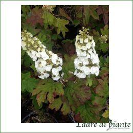 Hydrangea quercifolia Snow Queen - hydrangea quercifolia online - hydrangeae ortensia online - 300 bianchi giugno sole