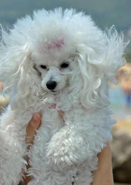 poodles are the best!! Max would have a fit if I let him look like this... He likes his mohawks and beards!