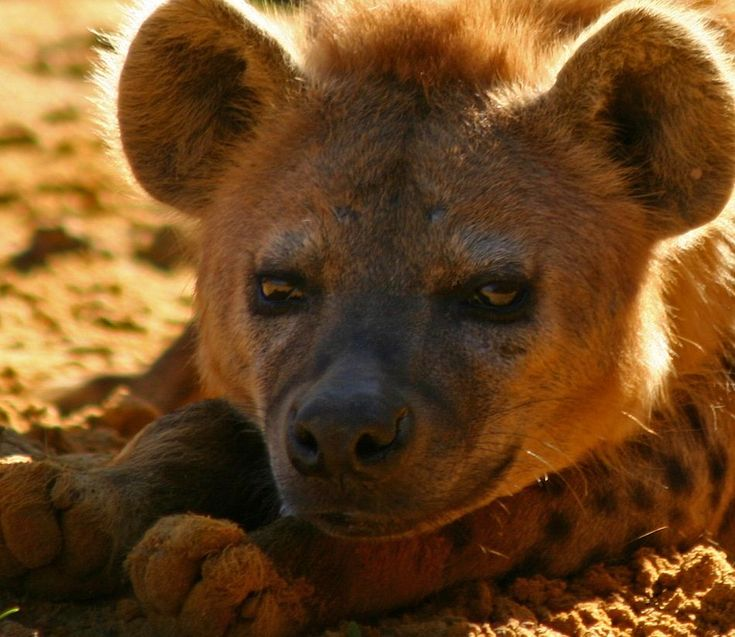 awesome spotted hyena extreme close-up - love the dusty, up-turned toes!