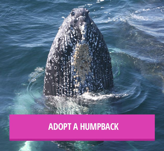 Orca and Whale Adoption | Whale & Dolphin Conservation