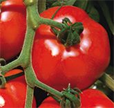 Anbau der Tomate
